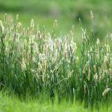 polen ierburi cu spic