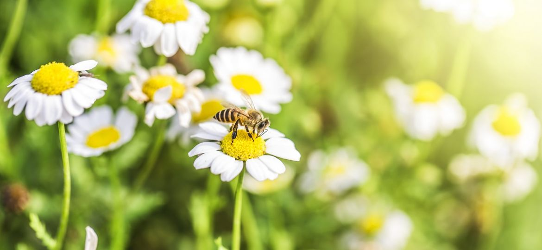 alergie venin albina